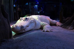 white-alligator-326071_640