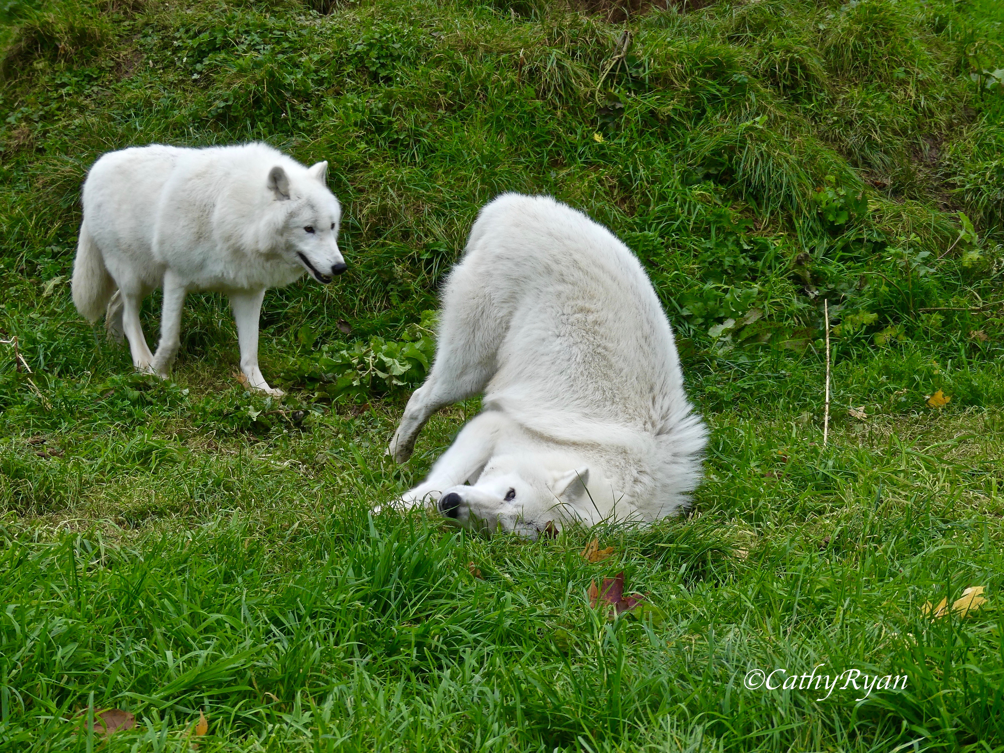 A Day at the UK #Wolf Conservation Trust #Photography