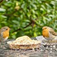 (Almost) #WordlessWednesday ~ More Robin #Photos
