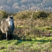 #WordlessWednesday ~ Welsh Ponies #Photography