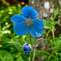 #SilentSunday ~ Himalayan Blue Poppy #Photography #Flowers #Nature