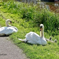 #SilentSunday ~ New life on the river #Swans #Photography