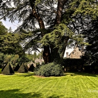 #SilentSunday ~ Cedar of Lebanon ~ a grand old tree with a royal connection #Photography #Nature