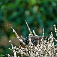 #WordlessWednesday ~ Starlings and Blackbird Enjoying Nature's Bounty #Photography #Birds #Nature