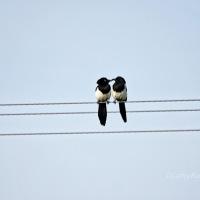 #WordlessWednesday ~ Birds on a Wire #NaturePhotography